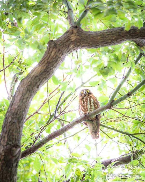 アオバスク・フクロウ・野鳥撮影